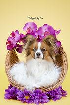 Schmetterlingshunde