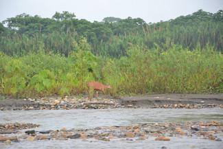 Cerf des Marais