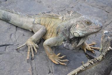 Iguane du Parc des Iguanes # 1