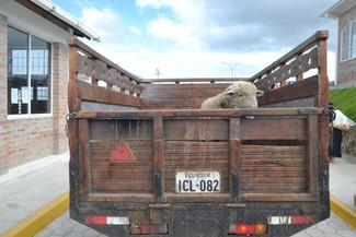 Mouton Camion