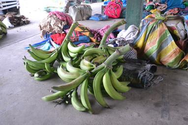 Bananes sur sa branche