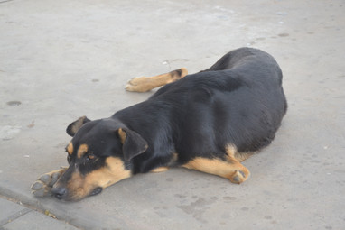 Tripède Canin