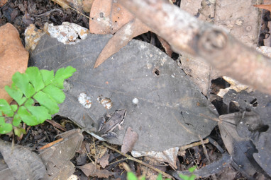 Mini-grenouille camouflée sur feuille