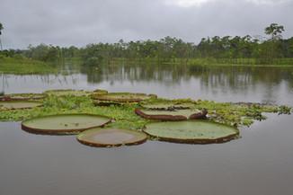 Nénuphar géant Victoria Amazonica