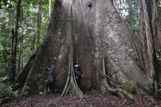 Ceiba géant