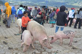 Trois (petits) cochons