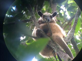 Tamandua vue au téléscope