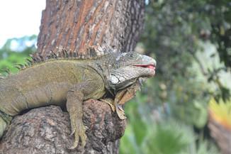 Iguane méditant sur son arbre