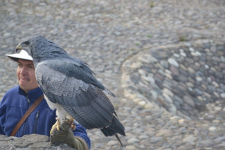 Aigle recueilli