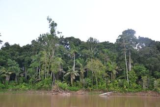 Arbres amazoniens
