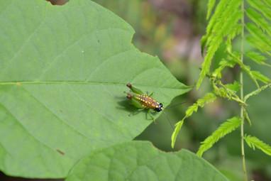 Insecte doré