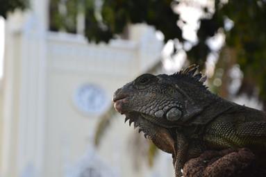 Iguane s'apprêtant à croquer le temps