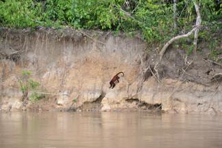 Singe s'aventurant à l'orée du fleuve