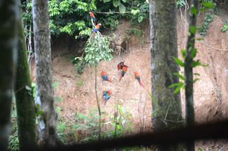 Perroquet Ara Ararauna mangeant de l'argile
