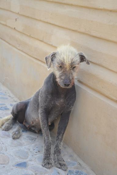 Chien Inca Blond