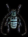 beetle300(1) copy.png