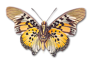 butterflytiger300 copy 3.png