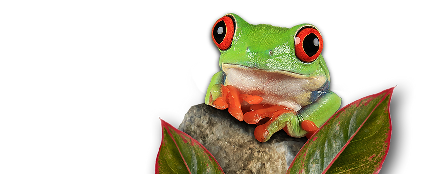 tito the treefrog on rock.png
