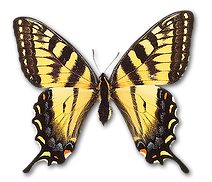 yellowblack butterfly300 copy.png