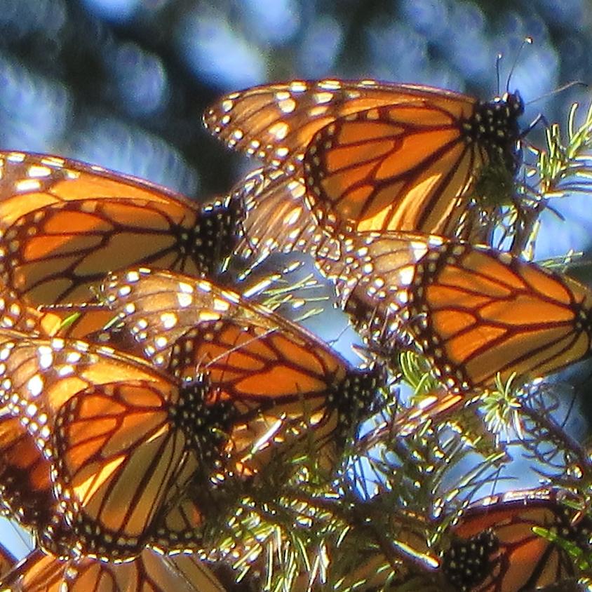 The Second Annual Villa Terrace Monarch Butterfly Celebration!
