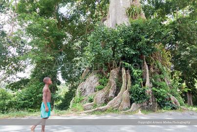 Silk Cotton Tree, Moriah