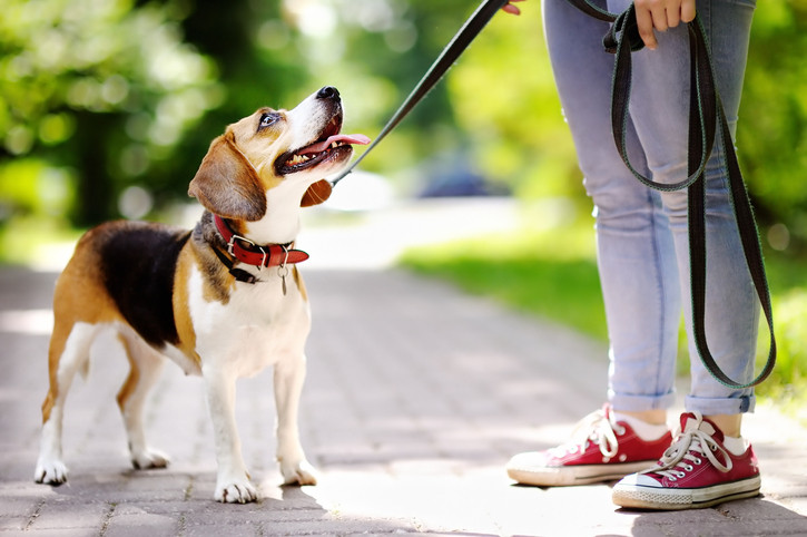 beagle-with-red-collar-looks-up-at-woman-with-red-shoes