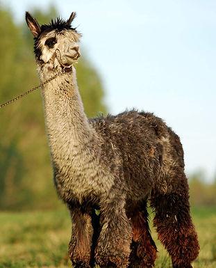alpacka alpaca upplevelser för privatpersoner