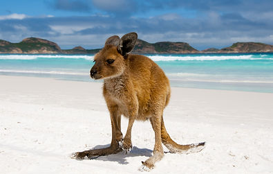 Kangaroo-On-Lucky-Bay.jpg
