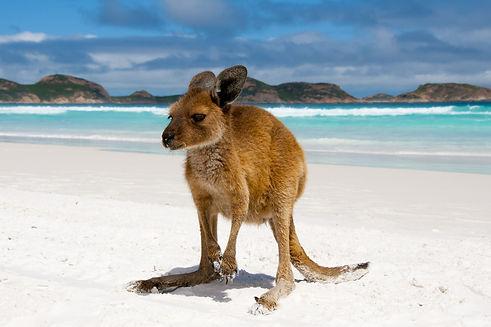 Kangaroo-On-Lucky-Bay.jpg