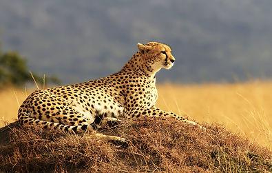 Masai-Mara-Cheetah.jpg