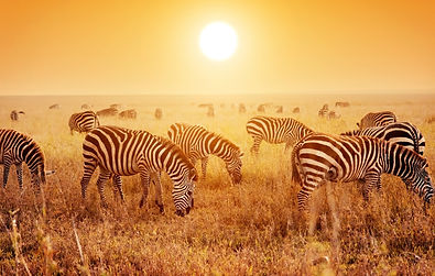 Safari-Zebras.jpg