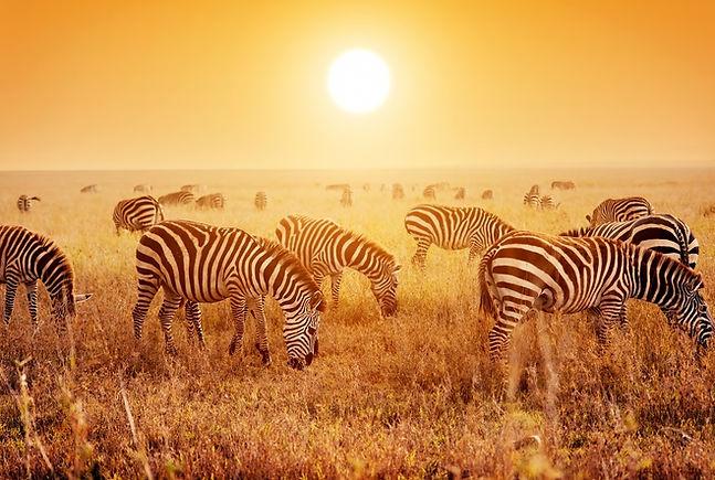 Safari-Zebras.jpg