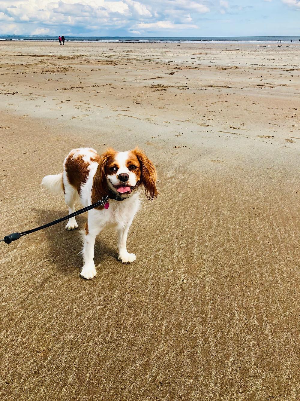 Carrie-Ann's dog Poppy on the beach