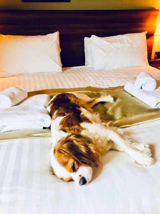 Dog lying on hotel bed