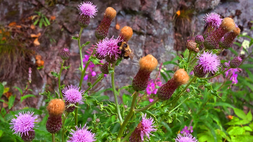Bee on Thistle.jpg