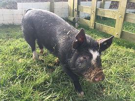 Beatrix the pig