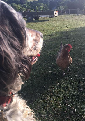 Luna the dog and a chicken