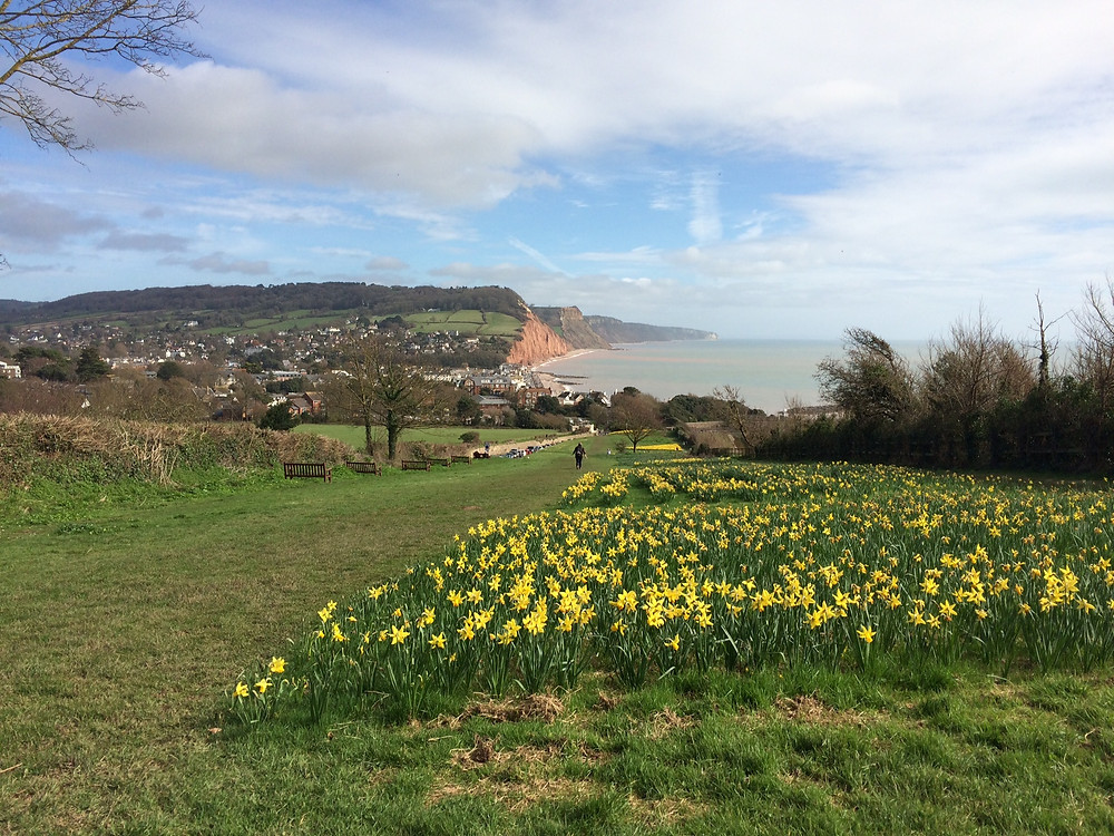 Daffodils and view from peak hill to Sidmouth