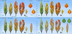 poplar_100%_leafs