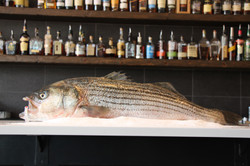 Massachusetts Wild Striped Bass