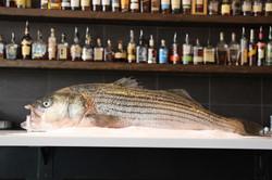 Massachusetts Wild Striped Bass