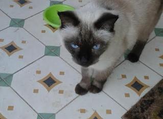 אלכס- אנמיה מדבקת של חתולים
