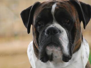 בונו- לישמניה ויסצרלית בכלבים