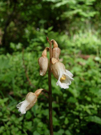 Potato Orchid (Gastrodia sesamoides)