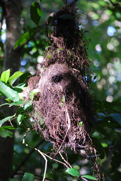Yellow Throated Scrubwren Nest