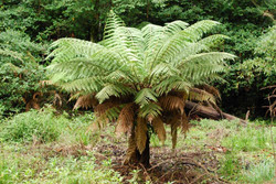 The King of Treefern Swamp