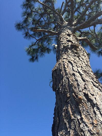 Wood stork in slash pine TS FL.JPG
