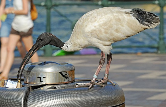 A bin chicken is eating rubbish from the bin