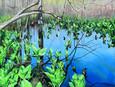 Spring Skunk Cabbage Reflecting