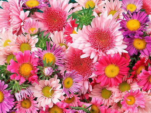 Gerbera-Pink-and-Violet-Daisy-Flowers-Ba